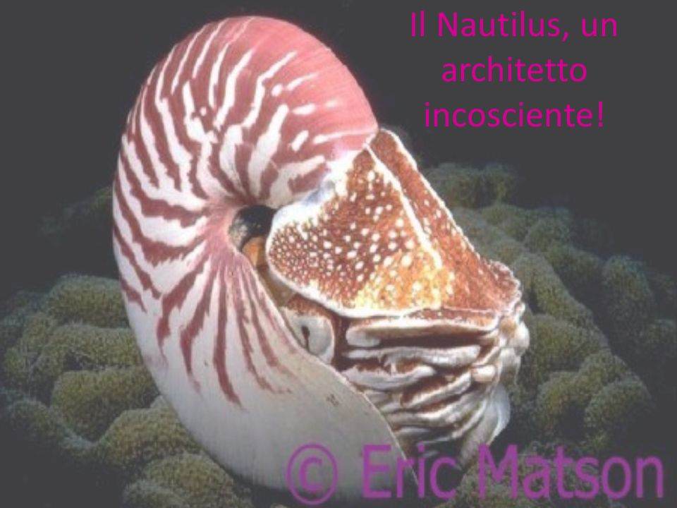 Il Nautilus, un architetto incosciente!