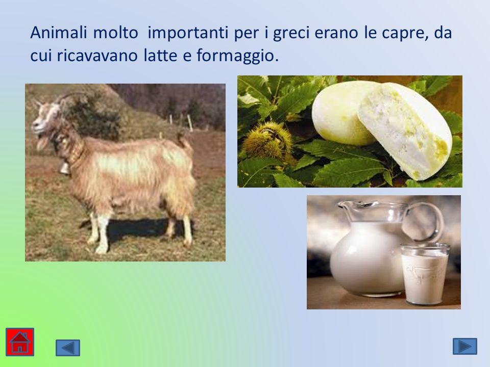Animali molto importanti per i greci erano le capre, da cui ricavavano latte e formaggio.