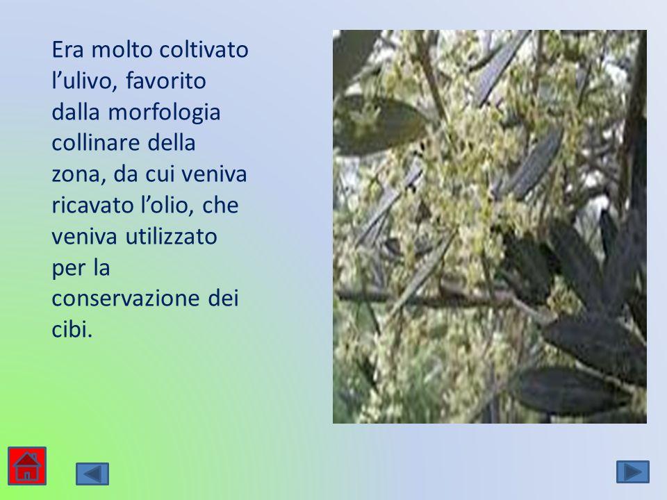 Era molto coltivato lulivo, favorito dalla morfologia collinare della zona, da cui veniva ricavato lolio, che veniva utilizzato per la conservazione d