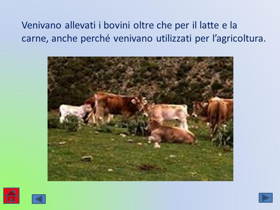 Venivano allevati i bovini oltre che per il latte e la carne, anche perché venivano utilizzati per lagricoltura.