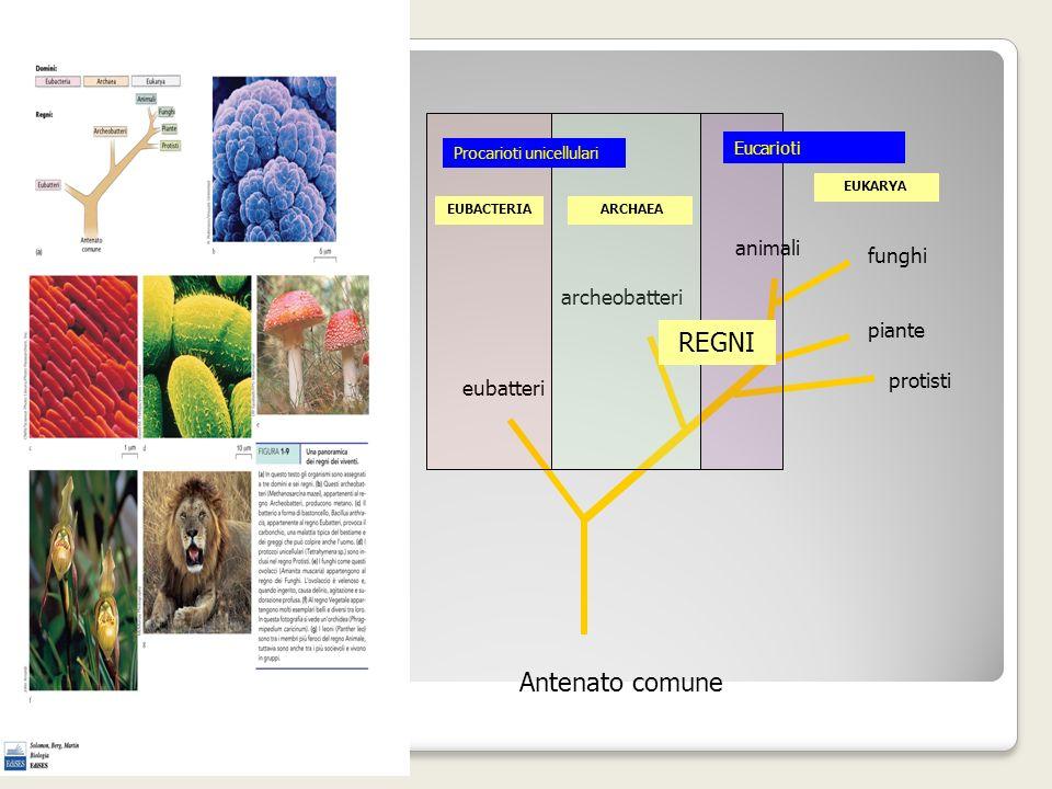 Antenato comune eubatteri archeobatteri animali funghi piante protisti REGNI EUBACTERIA ARCHAEA EUKARYA Procarioti unicellulari Eucarioti