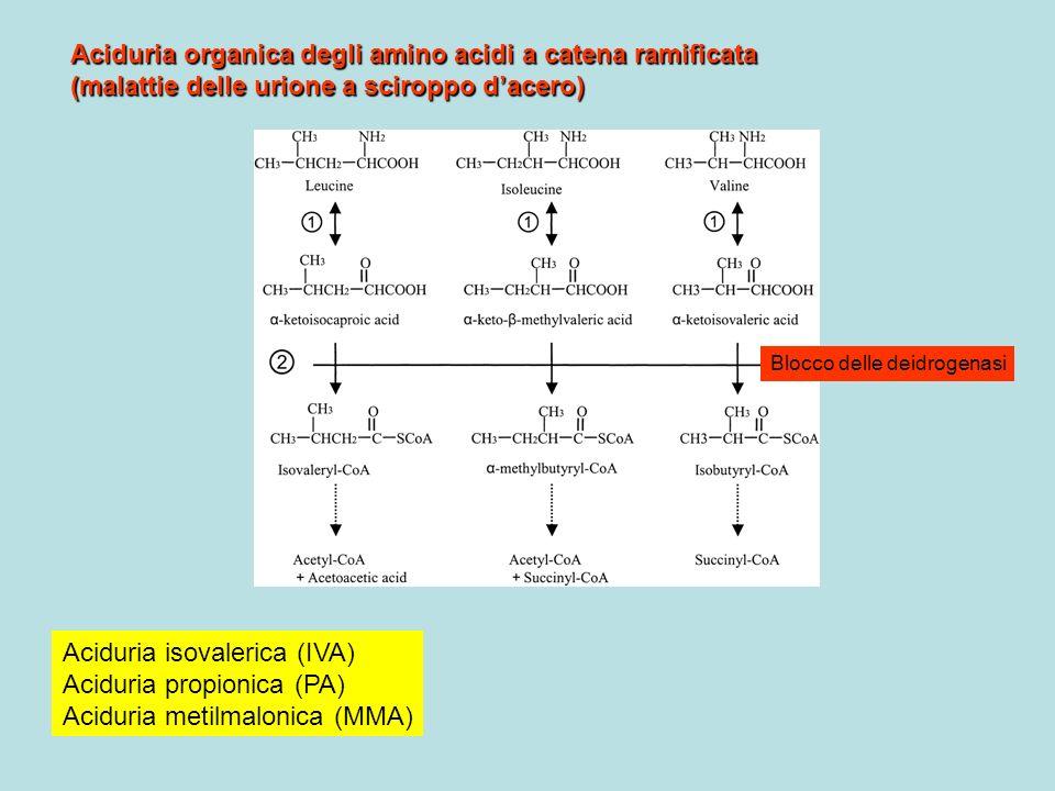 Aciduria organica degli amino acidi a catena ramificata (malattie delle urione a sciroppo dacero) Aciduria isovalerica (IVA) Aciduria propionica (PA)
