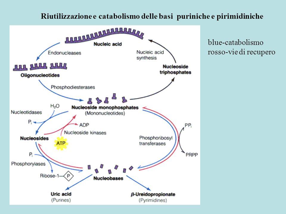 Riutilizzazione e catabolismo delle basi puriniche e pirimidiniche blue-catabolismo rosso-vie di recupero