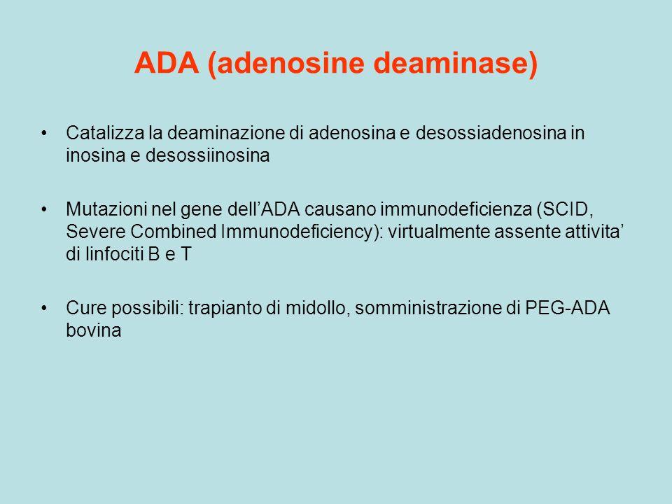ADA (adenosine deaminase) Catalizza la deaminazione di adenosina e desossiadenosina in inosina e desossiinosina Mutazioni nel gene dellADA causano imm