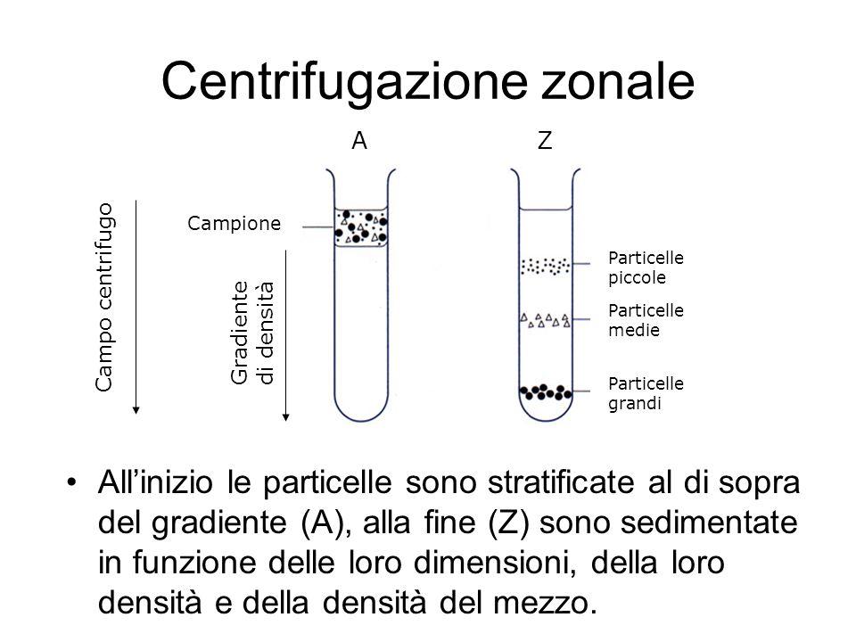 Centrifugazione zonale Allinizio le particelle sono stratificate al di sopra del gradiente (A), alla fine (Z) sono sedimentate in funzione delle loro