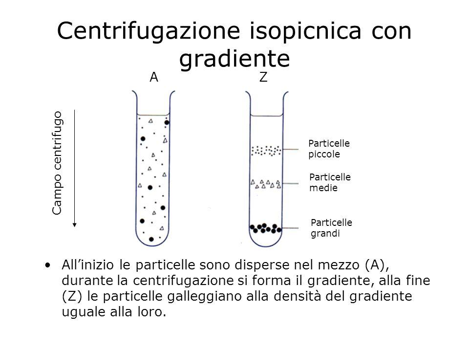 Centrifugazione isopicnica con gradiente Allinizio le particelle sono disperse nel mezzo (A), durante la centrifugazione si forma il gradiente, alla f