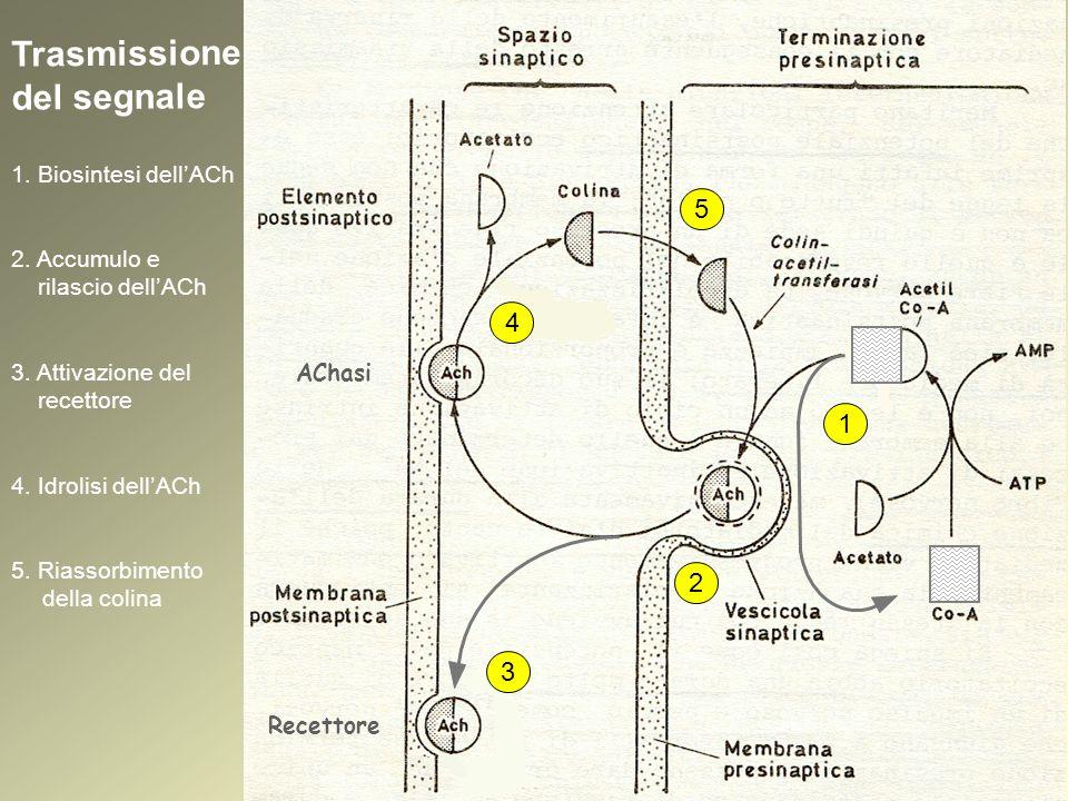 Il problema dellinstabilità dellACh: progettazione di analoghi stabili ACh 1.Impedimento sterico 2.Stabilizzazione mediante effetti elettronici carbacolo betanecolo Trasmissione del segnale: colinomimetici diretti