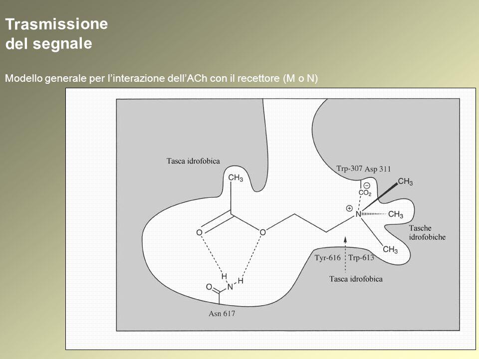 Trasmissione del segnale Modello generale per linterazione dellACh con il recettore (M o N)