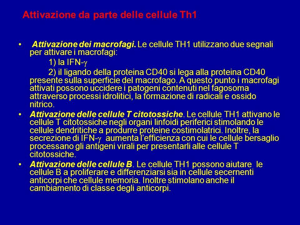 Cellule T H1 e T H2 Esistono due tipi di cellule T helper: TH1 e TH2.