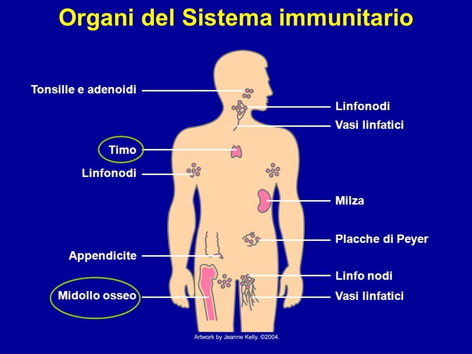 Il Sistema immunitario: meccanismi di base Componenti del sistema immunitario: organi linfatici e leucociti.