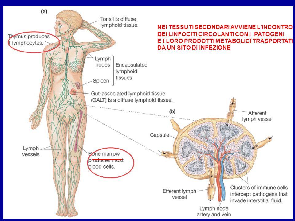Gli organi linfatici secondari catturano lantigene e forniscono la sede in cui i linfociti possono interagire con esso, andando incontro alla proliferazione e alla differenziazione in cellule effettrici Il tessuto linfatico drena i tessuti e li intereconnette gli uni agli altri I linfonodi sono specializzati nel catturare gli Ag presenti nei tessuti La milza riceve gli Ag direttamente dal sangue Il tessuto meno organizato si trove nelle membrane delle mucose (follicoli linfatici dispersi nella lamina dellintestino e nelle placche di Peyer, site nella parete intestinale) Si possono individuare anche tessuti linfatici terziari: tessuti linfatici associati alla cute