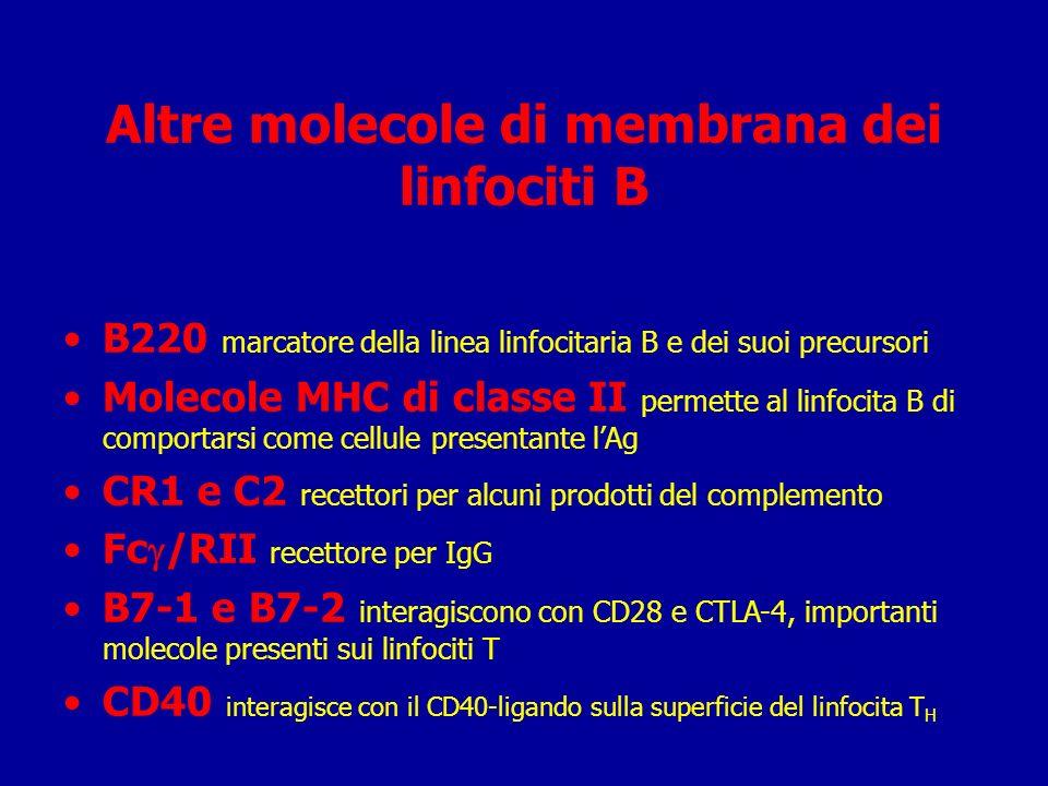 Linfociti B Maturano nel midollo osseo Esprimono sulla superficie un recettore (Ab) specifico per un antigene (Ab=antibody anticorpo) Dopo lincontro con lAg maturano e si differenziano in Linfociti B della memoria e linfociti effettori (plasmacellule) Linfociti B della memoria esprimono lo stesso Ab delle cellule progenitrici Una plasmacellula sercerne più di 2.000 Ab al secondo Le plasmacellule muoiono in 1-2 settimane