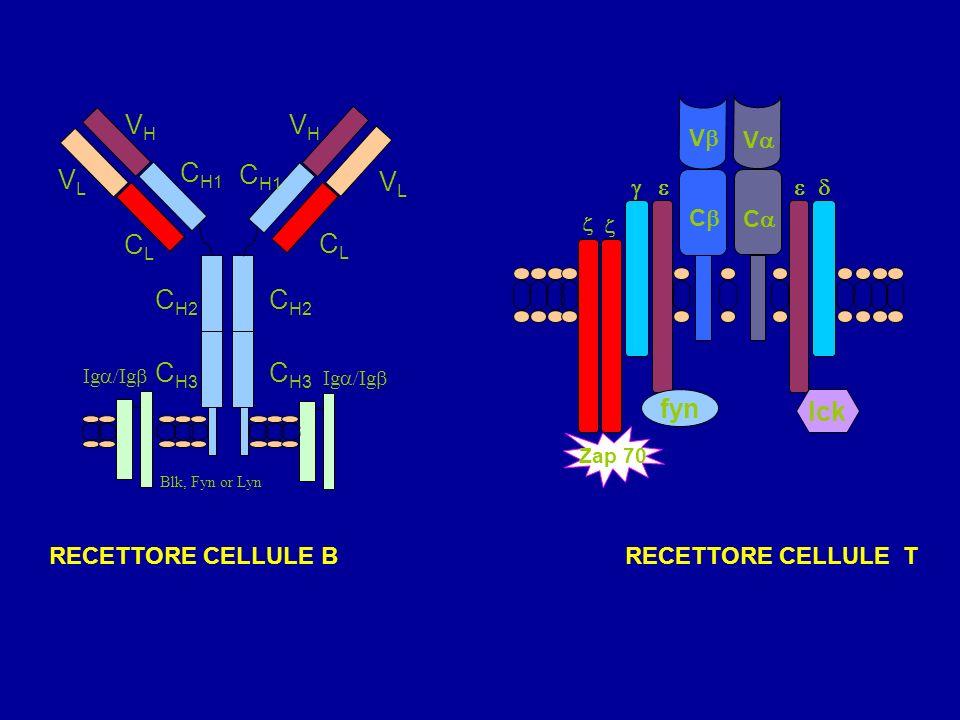 Cellule T Nascono nel midollo osseo e maturano nel timo Durante la maturazione esprimono sulla membrana uno specifico recettore per lAg: recettore del linfocita T (T cell receptor TCR) TCR riconosce Ag solo se è legato a proteine MHC, glicoproteine polimorfiche, presentate da altre cellule Ci sono 2 sottopopolazioni di linfociti T: –T helper (T H ) –Th1 e Th2 –T citotossiche (T c ) o killer