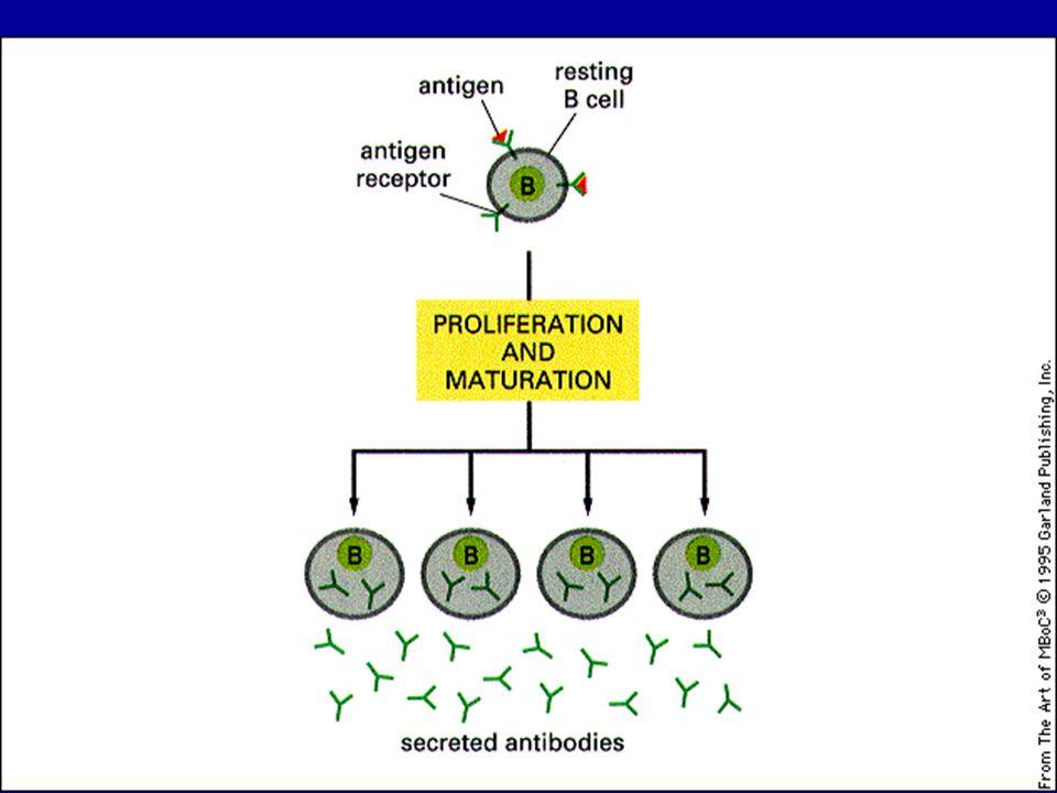 Ogni linfocita B esprime sulla membrana 150.000 Anticorpi (recettori) identici per lo stesso Ag Esempio: SELEZIONE CLONALE nei linfociti B