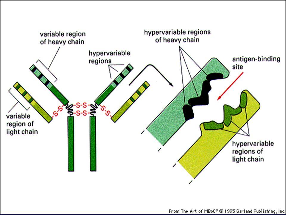 Antibody Molecule Structure Heavy Chain Light Chain globular domains disulfide bonds h CH1CH1 CH2CH2 CH3CH3 VHVH CLCL VLVL C terminal end N terminal end Ag binding region CHO Ag = Y