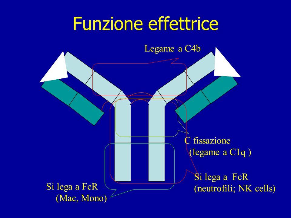 Enzymatic degradation of Fc fragment. F(ab) 2