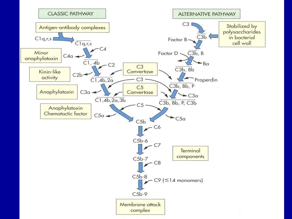 Funzioni: Interazione con i recettori della superficie cellulare per indurre la fagocitosi –Molecole recettrici su polimorfonucleati, macrofagi e frammento Fc degli anticorpi Produzione di componenti biologicamente attivi.