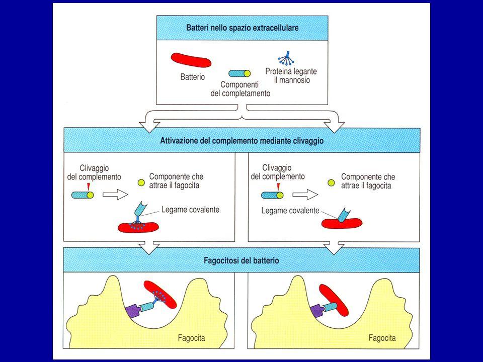 La via lectinica è innescata dalla proteina legante il mannosio, che ha siti di legame per i carboidrati tipici della superficie batterica.
