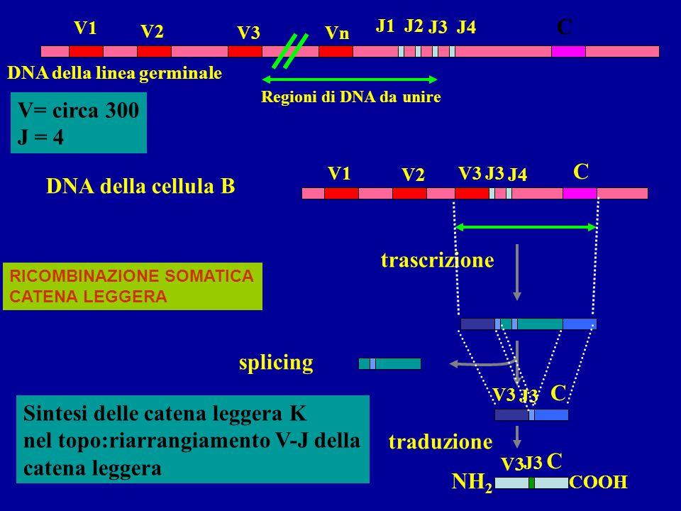 Gli anticorpi vengono prodotti da tre distinte famiglie geniche localizzate su cromosomi diversi: per le catene leggere K per le catene leggere per le catene pesanti Ogni famiglia genica contiene numerosi segmenti genici: Regione variabile V e J nella catena leggera Regione variabile V, D, J nella catena pesante Regione costante Segmenti genici separati codificanti parti diverse delle regioni variabili delle catene leggere e delle catene pesanti vengono unite mediante fenomeni di ricombinazione nel corso del differenziamento della cellule B