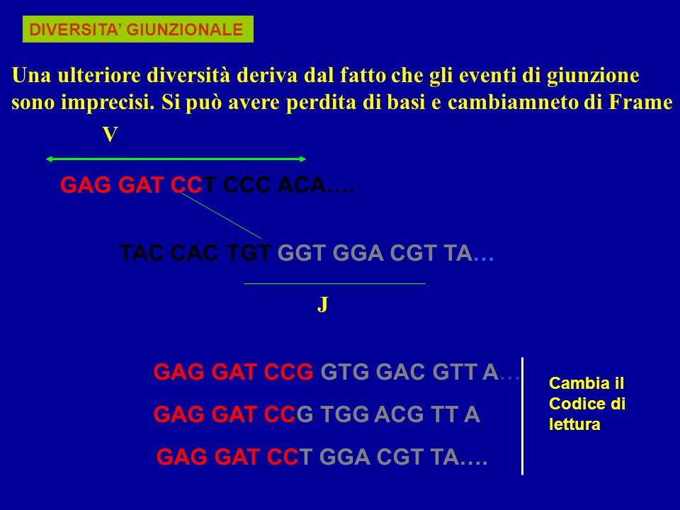 Segmenti Genici catena pesante C.leggera C.leggera k V514030 D2700 J654 Possibili Combinazioni 51x27x6=826240x5=20030x4=120 Associazione Combinatoriale leggera-pesante 8262 x (200+120)= 2,64 x 10 6 Regione V, D, J nella catena Pesante e Leggera k e
