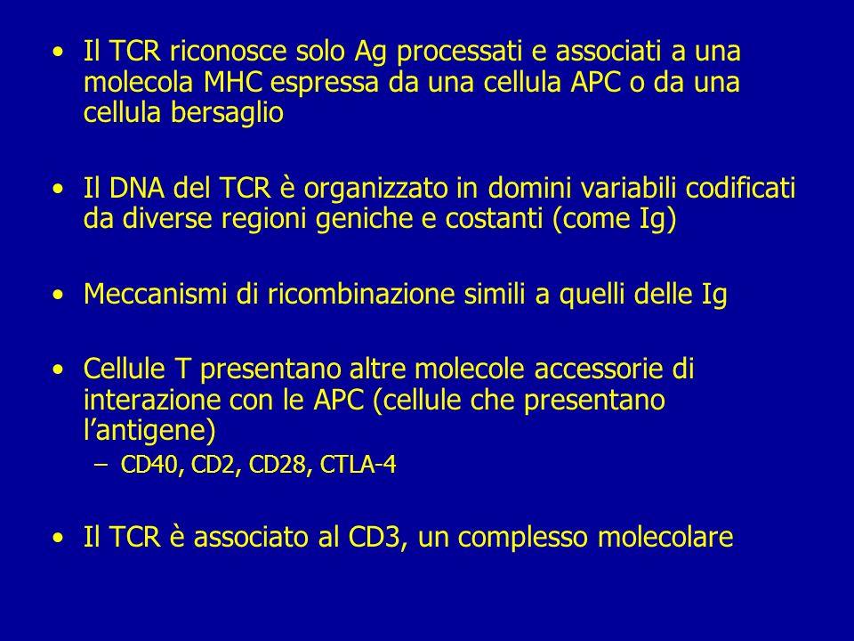 Cellule T Nascono nel midollo osseo e maturano nel timo Durante la maturazione esprimono sulla membrana uno specifico recettore per lAg: recettore del linfocita T (T cell receptor TCR) TCR riconosce Ag solo se è legato a proteine MHC, glicoproteine polimorfiche Ci sono 2 sottopopolazioni di linfociti T: –T helper (T H ) –T citotossiche (T c )