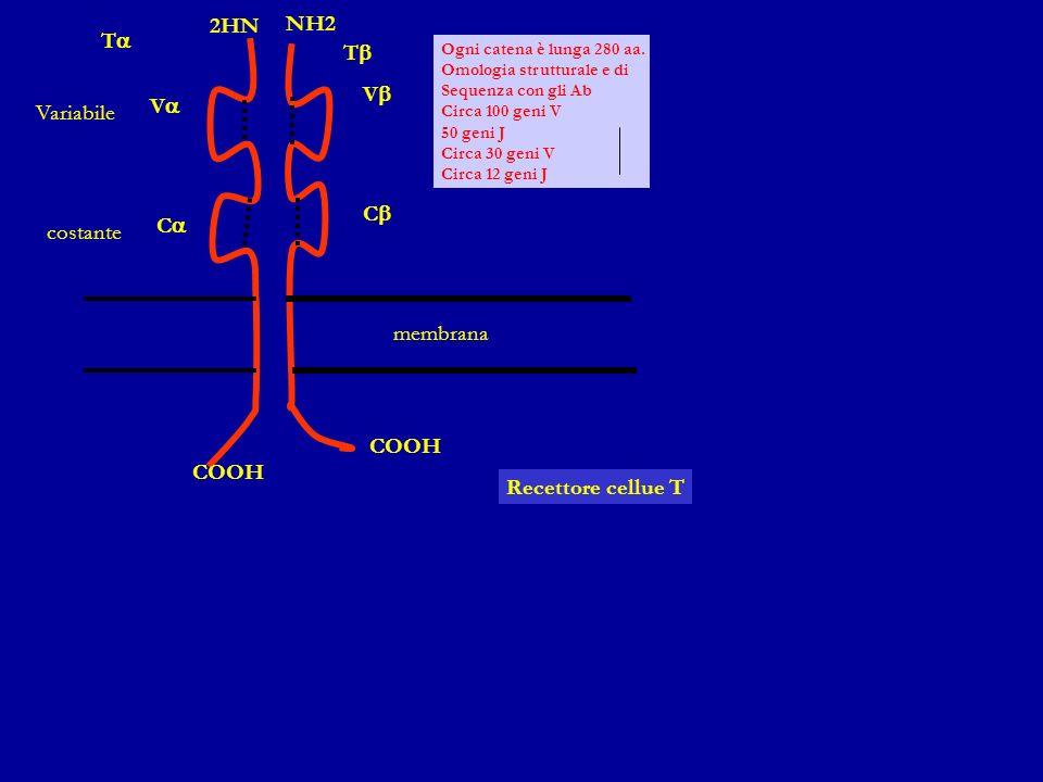 CD2 APC MHC II B7 (CD80/86) Interazione APC e Linfocita T CTLA-4 CD40 CD28 B7 (CD80/86) TCR CD154 (CD40L) CD58 (LFA-3) CD4 + T Cell Attivazione Riconoscimento Adesione Attivazione