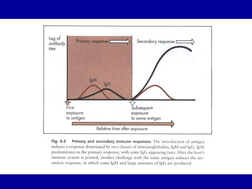 Memoria immunologica Le risposte immunitarie acquisite danno luogo alla memoria immunologica di lunga durata e a una immunità protettiva La risposta immunitaria primaria è sviluppata da un numero limitato di linfociti Lintervallo necessario per la ooro espansione numerica fornisce al patogeno lopportunità di avviare un processo infettivo fino alla comparsa della malattia Il cloni della risposta primaria comprendono anche le cellule della memoria di lunga durata, che rendono la risposta più veloce e più intensa a una successiva esposizione allo stesso patogeno Lintesità delle risposte secondarie può essere sufficiente a respingere la malattia
