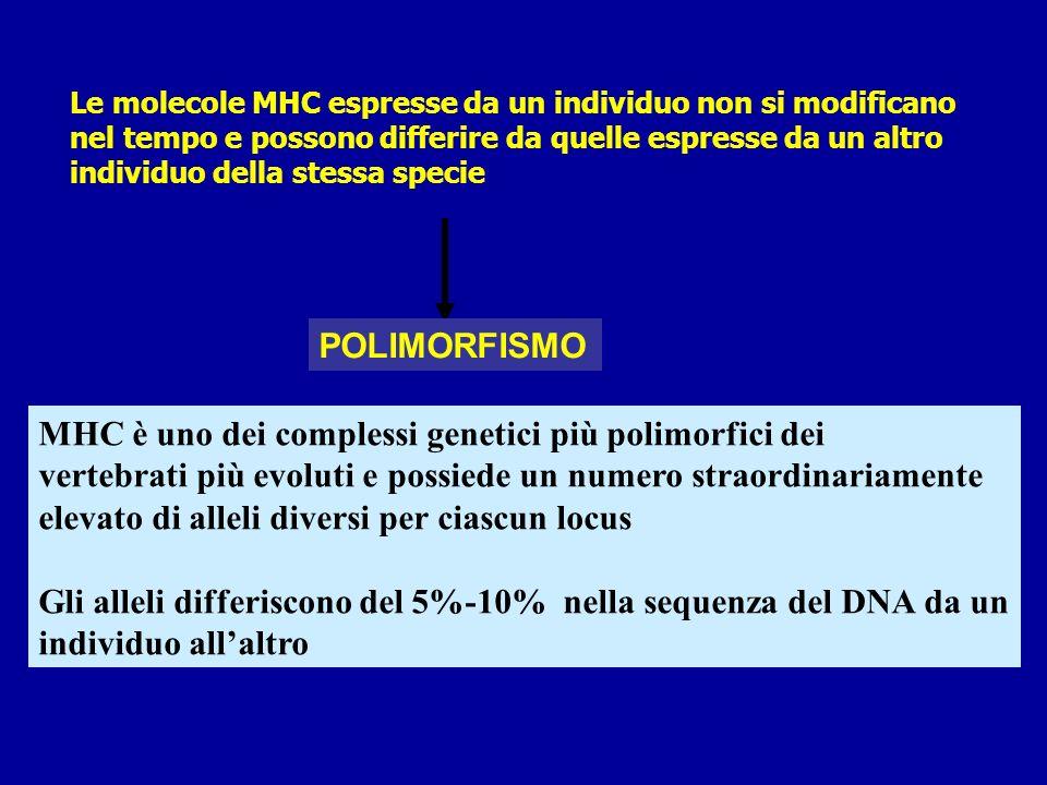MHC è un gruppo di geni localizzato su un ampio tratto del Cromosoma 6 (uomo) e cromosoma 17 (topo) Viene denominato HLA (human leukocytes antigen nelluomo) I geni sono localizzati in regioni che codificano 3 classi di proteine: geni MHC di classe I codificate nelle regioni A, B, C geni MHC di classe II codificati nelle regioni DP, DQ, DR geni MHC di classe III