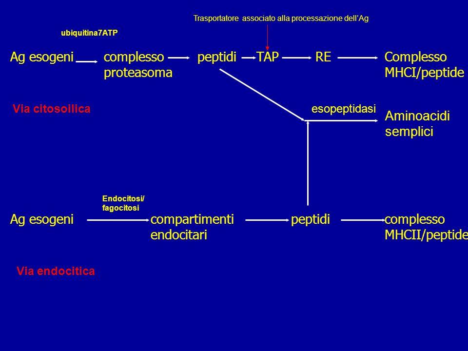 Restrizione immunitaria per le molecole MHC: I linfociti T citotossici CD8 sono ristretti alla classe MHC I I linfociti T H CD4 alle molecole di classe MHC II A seconda della provenienza dellantigene, intracellulare (endogeno) o extracellulare (esogeno), il sistema immunitario viene attivato in modo diverso Antigeni esogeni: ciclo endocitico Antigeni endogeni: ciclo citosolico