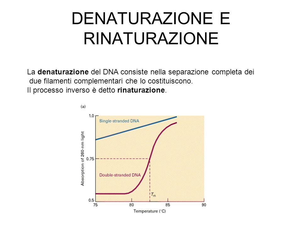 DENATURAZIONE E RINATURAZIONE La denaturazione del DNA consiste nella separazione completa dei due filamenti complementari che lo costituiscono. Il pr