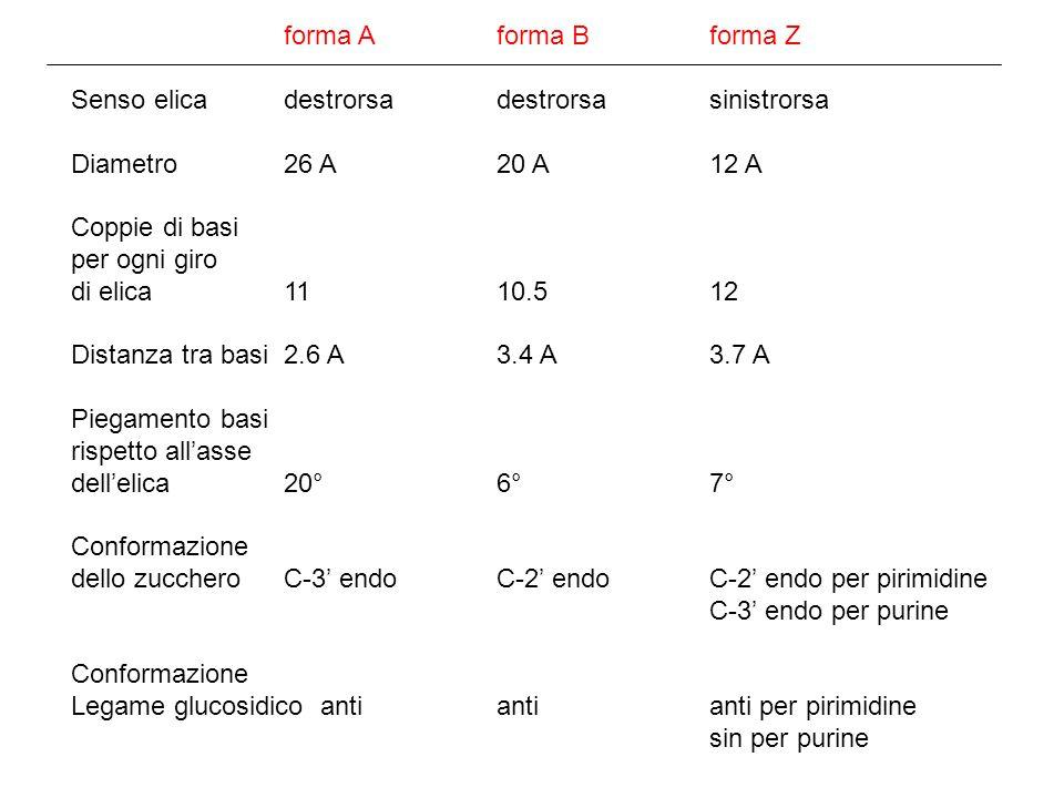 forma Aforma Bforma Z Senso elicadestrorsadestrorsasinistrorsa Diametro26 A20 A12 A Coppie di basi per ogni giro di elica1110.512 Distanza tra basi2.6 A3.4 A3.7 A Piegamento basi rispetto allasse dellelica20°6°7° Conformazione dello zuccheroC-3 endoC-2 endoC-2 endo per pirimidine C-3 endo per purine Conformazione Legame glucosidico antiantianti per pirimidine sin per purine