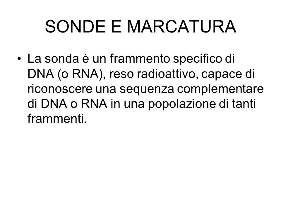 SONDE E MARCATURA La sonda è un frammento specifico di DNA (o RNA), reso radioattivo, capace di riconoscere una sequenza complementare di DNA o RNA in una popolazione di tanti frammenti.