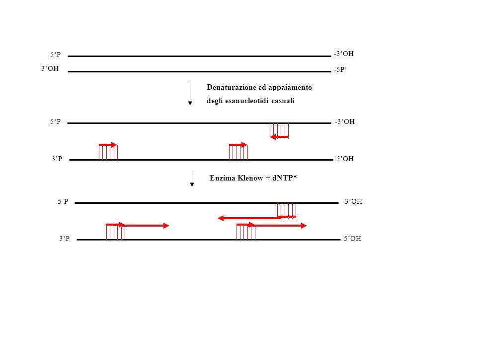 -3OH 5P 3OH -5P Denaturazione ed appaiamento degli esanucleotidi casuali 5P-3OH 3P5OH Enzima Klenow + dNTP* 5P-3OH 3P5OH