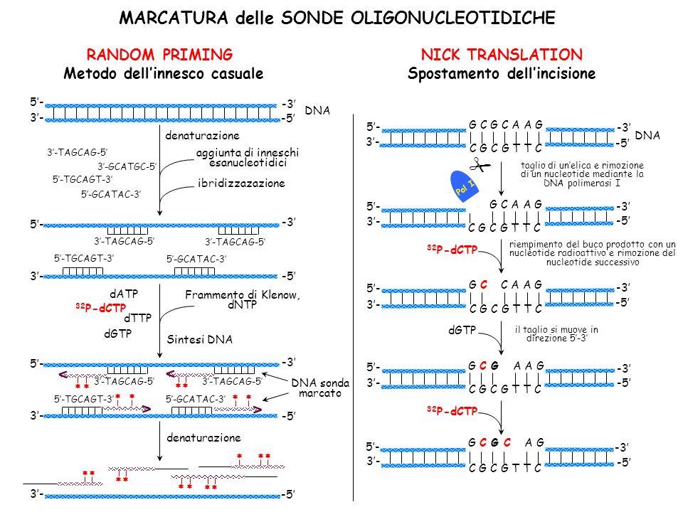 MARCATURA delle SONDE OLIGONUCLEOTIDICHE RANDOM PRIMING Metodo dellinnesco casuale NICK TRANSLATION Spostamento dellincisione 3- -5 -3 3- -5 5- DNA denaturazione aggiunta di inneschi esanucleotidici 3-GCATGC-5 5-TGCAGT-3 5-GCATAC-3 3-TAGCAG-5 ibridizzazazione -3 5- 3-TAGCAG-5 -5 3- 5-TGCAGT-3 5-GCATAC-3 Frammento di Klenow, dNTP dATP 32 P-dCTP dTTP dGTP Sintesi DNA -3 5- 3-TAGCAG-5 -5 3- 5-TGCAGT-35-GCATAC-3 3-TAGCAG-5 DNA sonda marcato denaturazione riempimento del buco prodotto con un nucleotide radioattivo e rimozione del nucleotide successivo -3 3- -5 5- DNA G C G C A A G C G C G T T C -3 3- -5 5- G G C A A G C G C G T T C -3 3- -5 5- G C C A A G C G C G T T C -3 3- -5 5- G C G A A G C G C G T T C -3 3- -5 5- G C G C A G C G C G T T C 32 P-dCTP dGTP il taglio si muove in direzione 5-3 taglio di unelica e rimozione di un nucleotide mediante la DNA polimerasi I Pol I