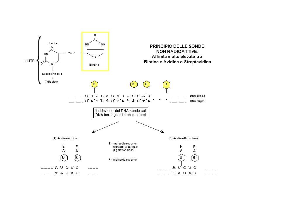 HN O O N dUTP Uracile Desossiribosio Trifosfato HN O S NH Biotina Uracile C U C G A G A U G U C A U G A G C T C T A C A G T A BBBB DNA sonda DNA target A U G U C T A C A G B B EAEA EAEA A U G U C T A C A G B B FAFA FAFA Ibridazione del DNA sonda col DNA bersaglio dei cromosomi (A) Avidina-enzima(B) Avidina-fluoroforo PRINCIPIO DELLE SONDE NON RADIOATTIVE: Affinità molto elevate tra Biotina e Avidina o Streptavidina E = molecole reporter fosfatasi alcalina o -galattossidasi F = molecole reporter