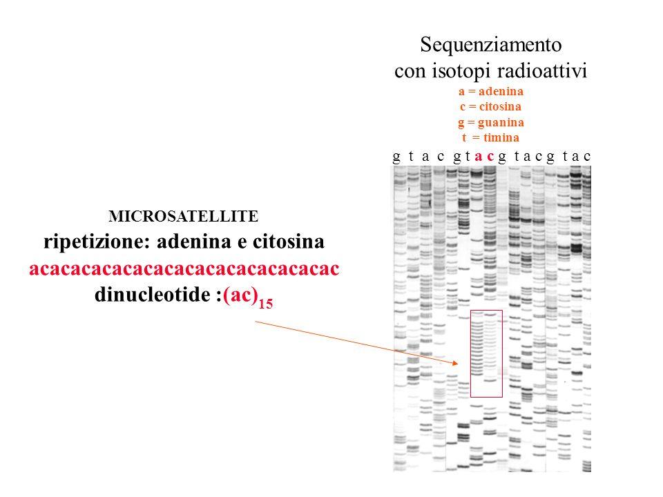 Sequenziamento con isotopi radioattivi a = adenina c = citosina g = guanina t = timina g t a c g t a c MICROSATELLITE ripetizione: adenina e citosina acacacacacacacacacacacacacacac dinucleotide :(ac) 15