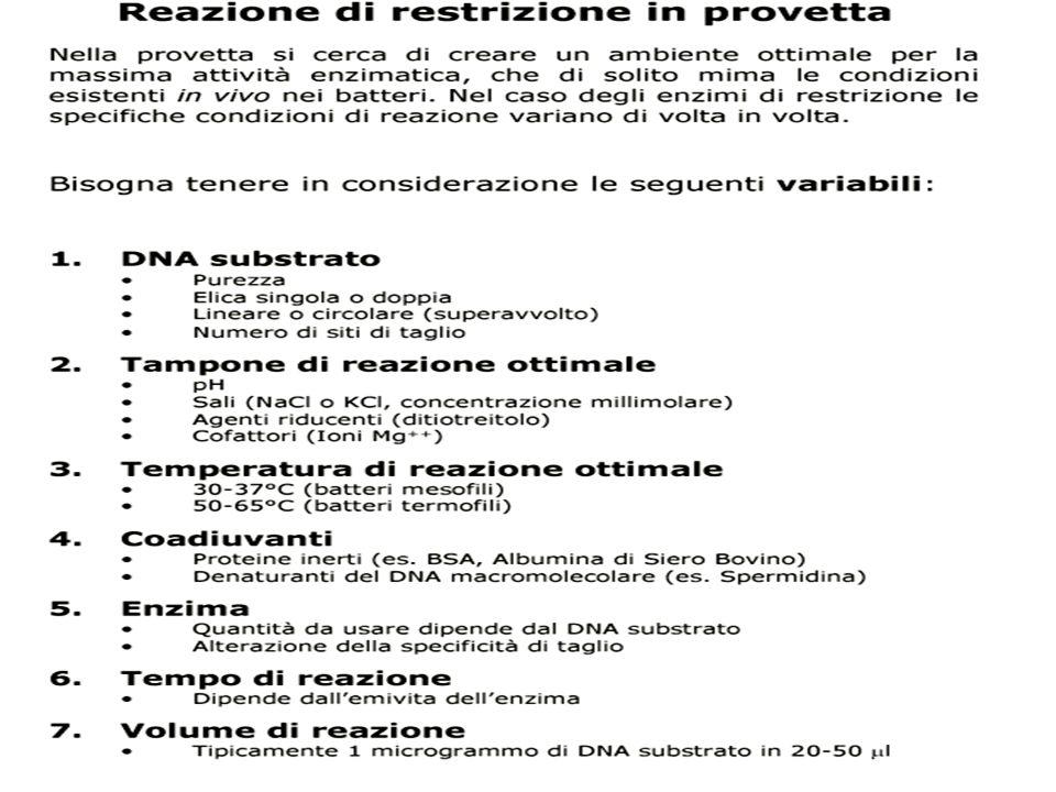 ...MAPPATURA di RESTRIZIONE 6 21 AB TRATTAMENTO DIMENSIONE dei FRAMMENTI (Kb) INTERPRETAZIONE Nessuna digestione Enzima A Enzima B Enzima A+ B 9 A 2 7 A 3 6 B A 3 6 B 43 A B 2 9 2 + 7 3 + 6 2 + 3 + 4 1 + 2 + 6