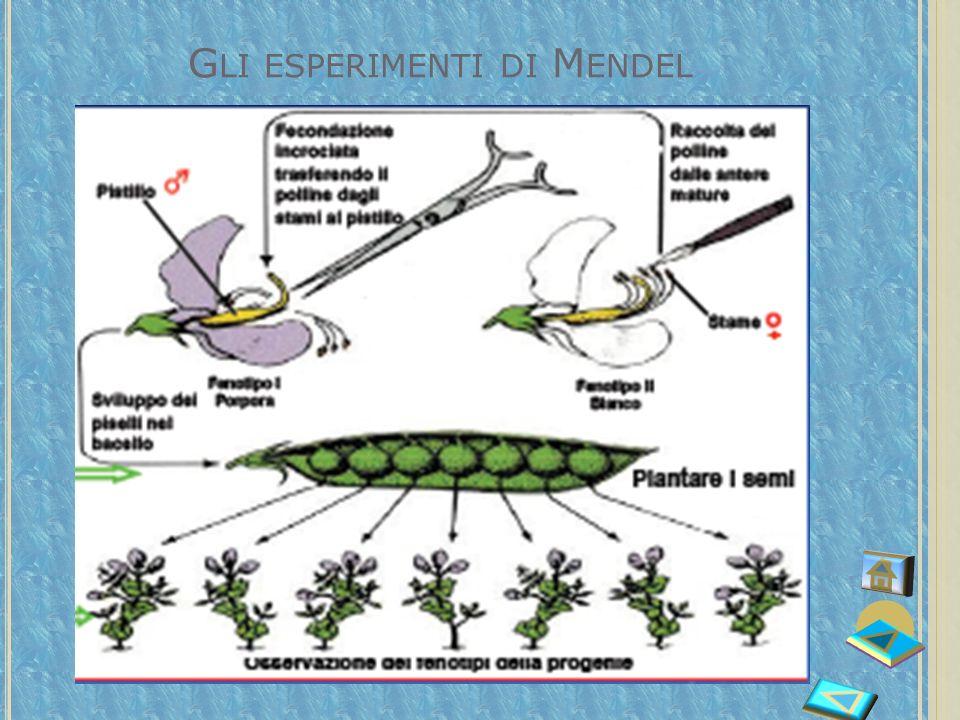 I SETTE CARATTERI STUDIATI DA M ENDEL Forma del seme Colore del seme Colore del fiore Tipo di baccello Colore del baccello Altezza della pianta Posizi