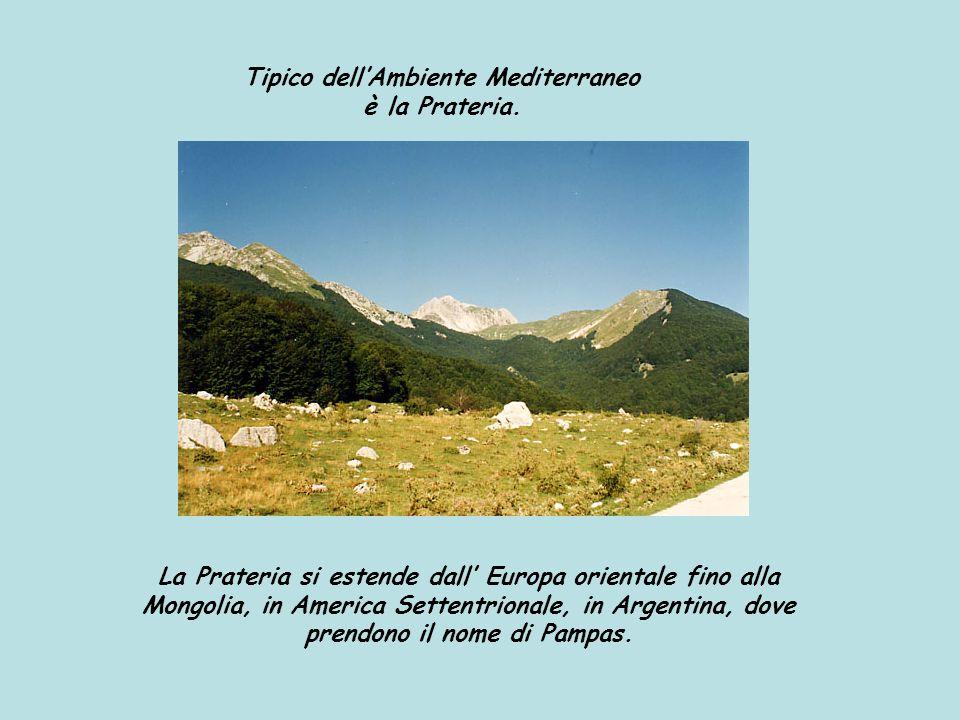 Tipico dellAmbiente Mediterraneo è la Prateria. La Prateria si estende dall Europa orientale fino alla Mongolia, in America Settentrionale, in Argenti