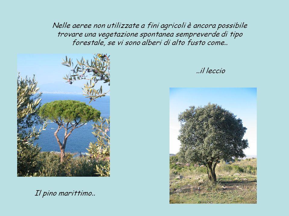 Nelle aeree non utilizzate a fini agricoli è ancora possibile trovare una vegetazione spontanea sempreverde di tipo forestale, se vi sono alberi di al