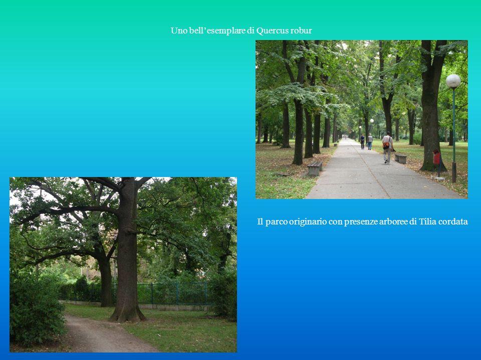 Uno bellesemplare di Quercus robur Il parco originario con presenze arboree di Tilia cordata