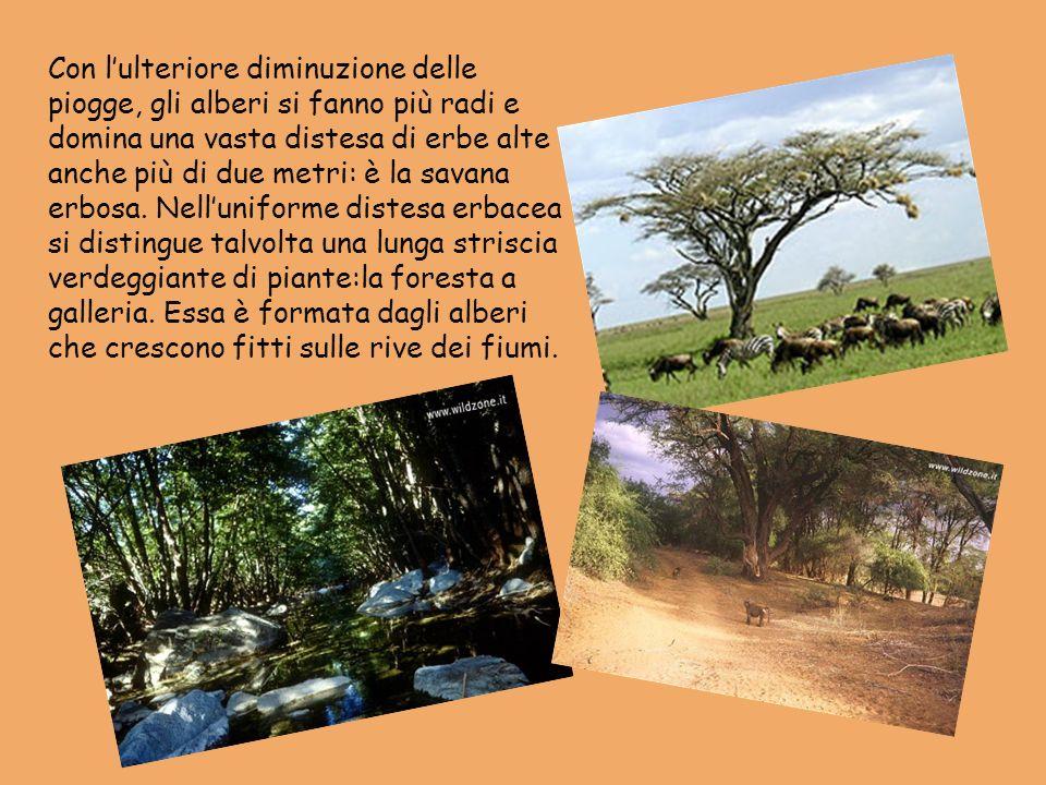Con lulteriore diminuzione delle piogge, gli alberi si fanno più radi e domina una vasta distesa di erbe alte anche più di due metri: è la savana erbo