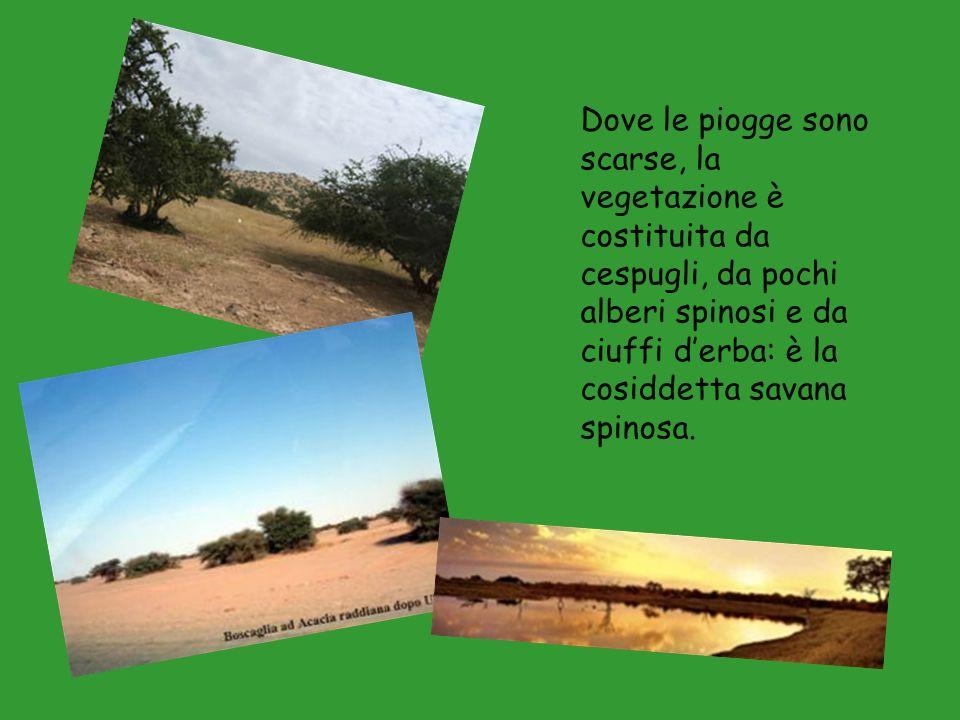 Dove le piogge sono scarse, la vegetazione è costituita da cespugli, da pochi alberi spinosi e da ciuffi derba: è la cosiddetta savana spinosa.