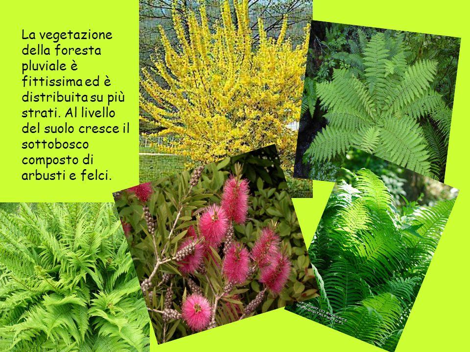 La vegetazione della foresta pluviale è fittissima ed è distribuita su più strati. Al livello del suolo cresce il sottobosco composto di arbusti e fel