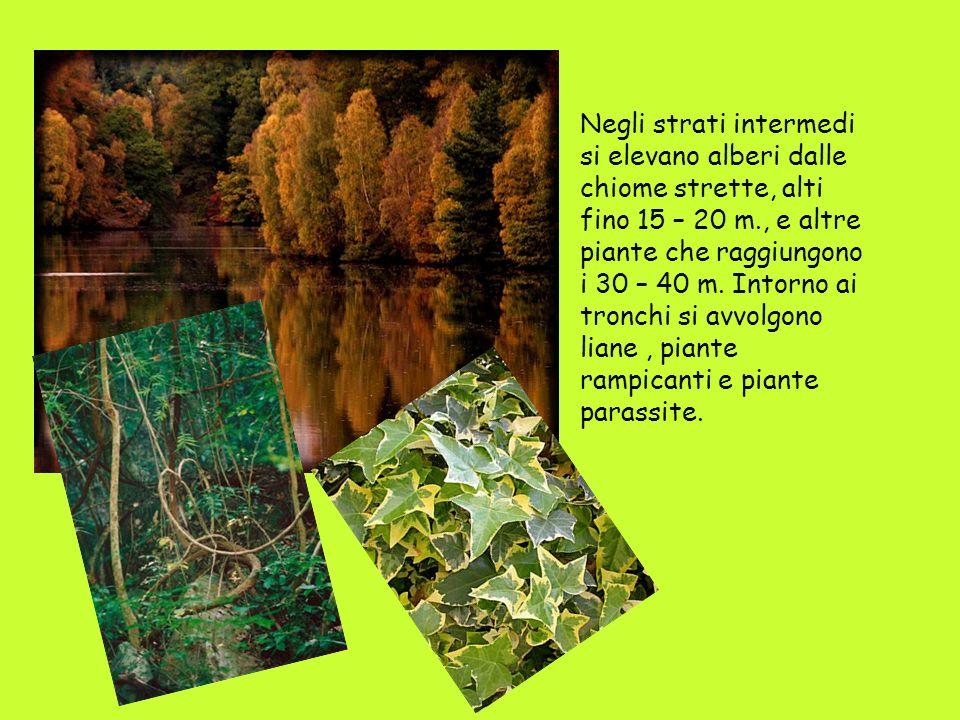 Negli strati intermedi si elevano alberi dalle chiome strette, alti fino 15 – 20 m., e altre piante che raggiungono i 30 – 40 m. Intorno ai tronchi si