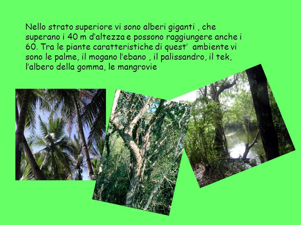 Nello strato superiore vi sono alberi giganti, che superano i 40 m daltezza e possono raggiungere anche i 60. Tra le piante caratteristiche di quest a
