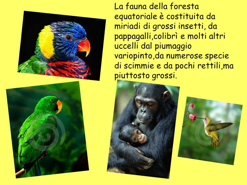 La fauna della foresta equatoriale è costituita da miriadi di grossi insetti, da pappagalli,colibrì e molti altri uccelli dal piumaggio variopinto,da