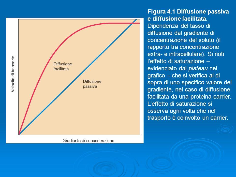 Figura 4.1 Diffusione passiva e diffusione facilitata. Dipendenza del tasso di diffusione dal gradiente di concentrazione del soluto (il rapporto tra