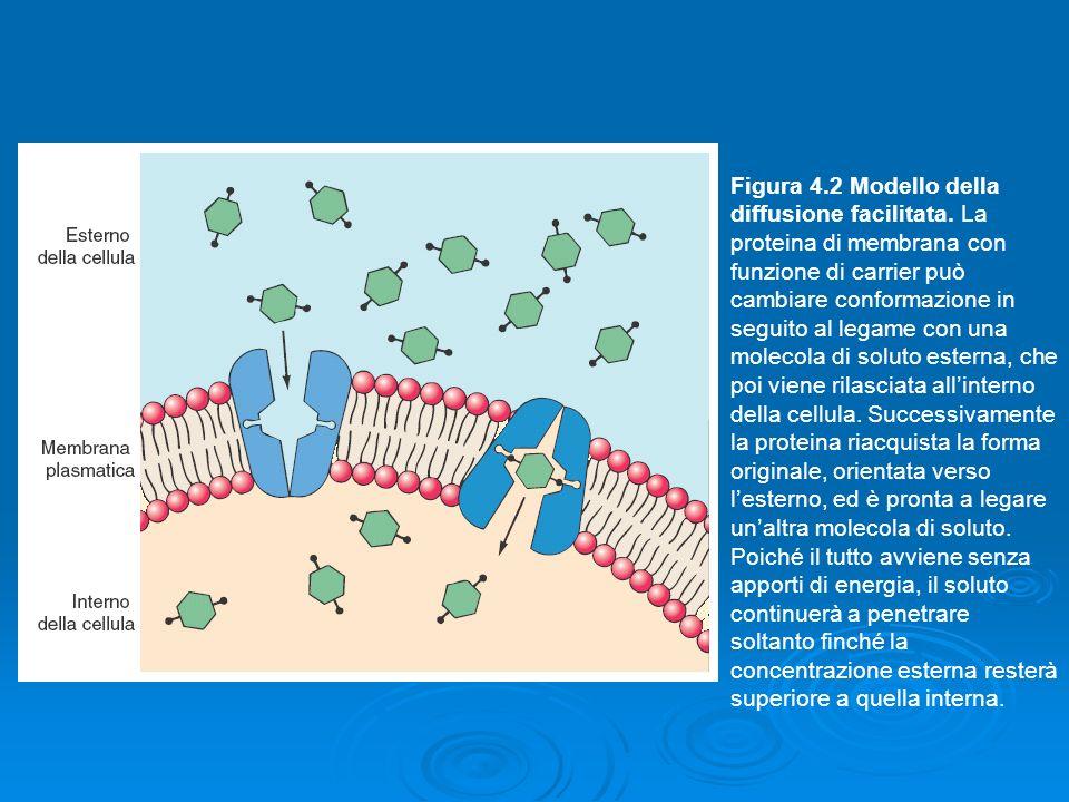 Figura 4.2 Modello della diffusione facilitata. La proteina di membrana con funzione di carrier può cambiare conformazione in seguito al legame con un