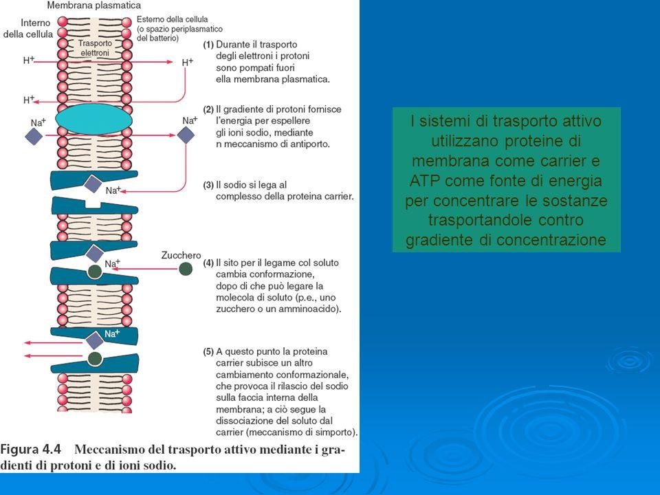 I sistemi di trasporto attivo utilizzano proteine di membrana come carrier e ATP come fonte di energia per concentrare le sostanze trasportandole cont